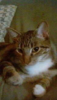 Domestic Shorthair Cat for adoption in Flower Mound, Texas - Charleston