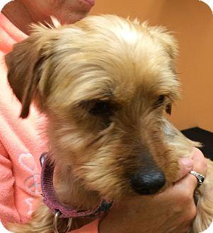 Yorkie, Yorkshire Terrier Dog for adoption in Fairview Heights, Illinois - Jessie