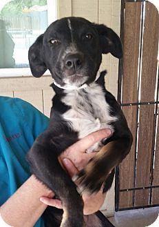 Shepherd (Unknown Type) Mix Puppy for adoption in Phoenix, Arizona - Lucky