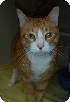 Domestic Shorthair Cat for adoption in Hamburg, New York - Sal