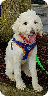 "Poodle (Miniature)/Maltese Mix Dog for adoption in Seattle, Washington - ""Jeramiah"" aka J.J."