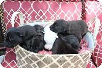 Labrador Retriever/German Shepherd Dog Mix Puppy for adoption in New Smyrna Beach, Florida - Caroline**On Hold**