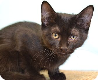 Domestic Shorthair Cat for adoption in Larned, Kansas - Pearl