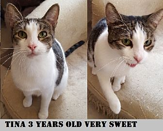 Domestic Shorthair Cat for adoption in Sunny Isles Beach, Florida - Tanic