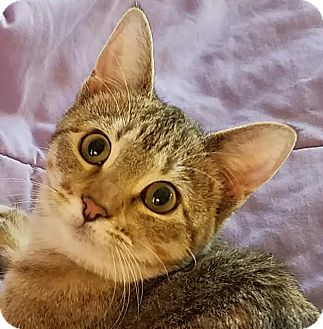Domestic Shorthair Kitten for adoption in Colfax, Iowa - Buttons