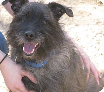 Cairn Terrier Mix Dog for adoption in Voorhees, New Jersey - Fergus