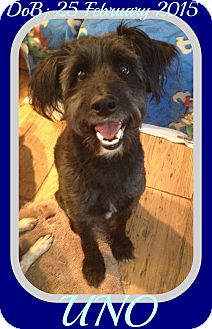 Poodle (Standard)/Border Collie Mix Dog for adoption in Jersey City, New Jersey - UNO