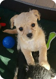 Terrier (Unknown Type, Small) Mix Puppy for adoption in Apache Junction, Arizona - Buffy