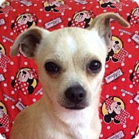 Pug/Chihuahua Mix Dog for adoption in San Diego, California - LENNY