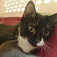Domestic Shorthair Cat for adoption in Edmonton, Alberta - Betty
