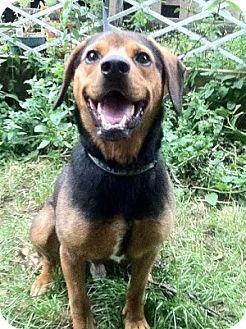 Beagle/Shepherd (Unknown Type) Mix Dog for adoption in Hamilton, Ontario - Duke