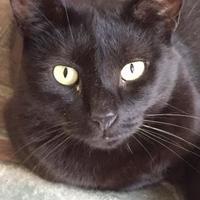 Adopt A Pet :: Jackson - Chambersburg, PA