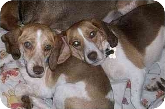 Beagle Dog for adoption in Ventnor City, New Jersey - HANK & ABBEY