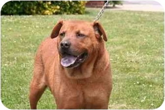 Labrador Retriever/Rottweiler Mix Dog for adoption in Islip, New York - Dodger