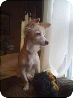 Chihuahua/Pomeranian Mix Dog for adoption in Worcester, Massachusetts - Misty