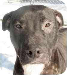 Pit Bull Terrier/American Staffordshire Terrier Mix Dog for adoption in Chicago, Illinois - Bobo