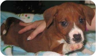 Boxer/Labrador Retriever Mix Puppy for adoption in Newberry, South Carolina - Blossom