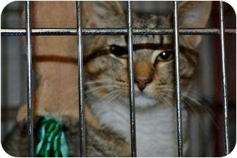 Domestic Shorthair Cat for adoption in Henderson, North Carolina - Kibbles