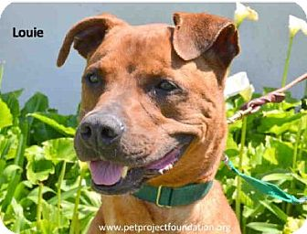 Boxer Mix Dog for adoption in San Clemente, California - LOUIE