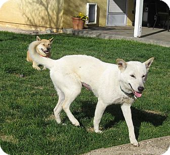 Jindo Dog for adoption in Southern California, California - Jangmi