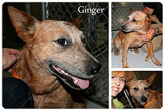 Australian Cattle Dog Mix Dog for adoption in MARION, Virginia - Ginger