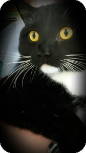 Domestic Shorthair Cat for adoption in Morden, Manitoba - Hank