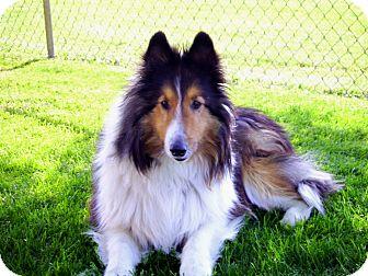 Sheltie, Shetland Sheepdog Dog for adoption in Littleton, Colorado - Sammy