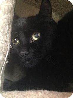 Domestic Shorthair Cat for adoption in Edmonton, Alberta - Kyla