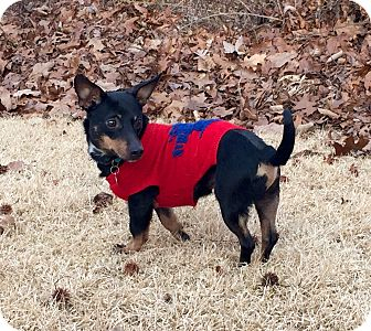 Dachshund/Terrier (Unknown Type, Small) Mix Dog for adoption in Nashville, Tennessee - Max