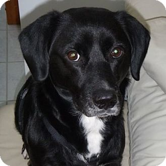 Labrador Retriever/Retriever (Unknown Type) Mix Dog for adoption in Rockville, Maryland - Cookie