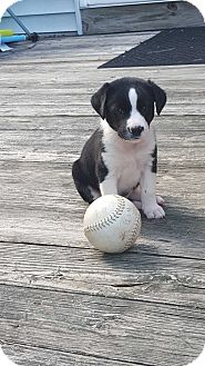 Border Collie/Australian Shepherd Mix Puppy for adoption in West Milford, New Jersey - BAGEL-pending