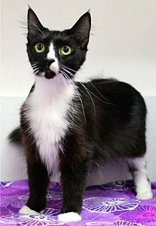 Domestic Mediumhair Cat for adoption in Sebastian, Florida - Little Momma