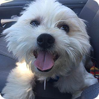 Lhasa Apso Mix Dog for adoption in Van Nuys, California - Higgins