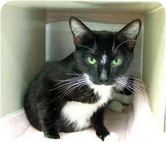 Domestic Shorthair Cat for adoption in San Clemente, California - JERSEY =LovesPets &Very Gentle