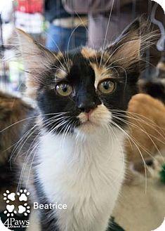 Calico Kitten for adoption in Merrifield, Virginia - Beatrice