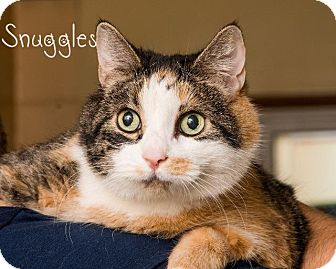 Domestic Shorthair Cat for adoption in Somerset, Pennsylvania - Snuggles
