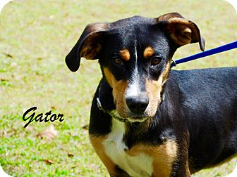 Greater Swiss Mountain Dog Mix Dog for adoption in Daleville, Alabama - Gator