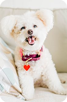 Bichon Frise/Poodle (Miniature) Mix Dog for adoption in Los Angeles, California - Cheese Puff