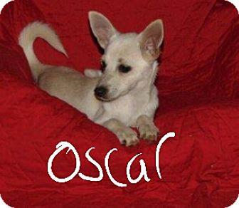 Pomeranian/Chihuahua Mix Puppy for adoption in Albany, North Carolina - Oscar