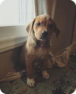 Retriever (Unknown Type) Mix Puppy for adoption in Jacksonville, North Carolina - Stefan