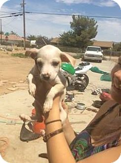 Chihuahua/Poodle (Toy or Tea Cup) Mix Puppy for adoption in Victorville, California - Bailey