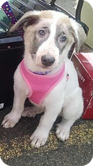 German Shepherd Dog/Great Pyrenees Mix Dog for adoption in Seymour, Connecticut - Ginger:PENDING!