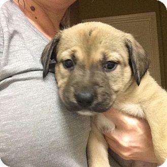 Labrador Retriever/Shepherd (Unknown Type) Mix Puppy for adoption in Houston, Texas - Fin