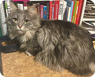 Domestic Mediumhair Cat for adoption in Kenai, Alaska - Misty