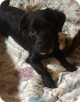 Dachshund Mix Puppy for adoption in Lincoln, Nebraska - Magic