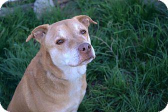 Labrador Retriever Mix Dog for adoption in Los Angeles, California - Amber