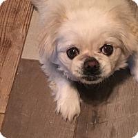Adopt A Pet :: Princess - Hales Corners, WI