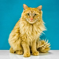 Domestic Longhair Cat for adoption in Chandler, Arizona - Cybil