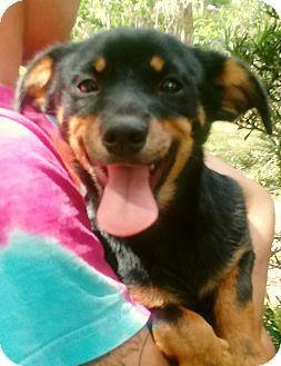 Basset Hound/Dachshund Mix Puppy for adoption in Osteen, Florida - Archie