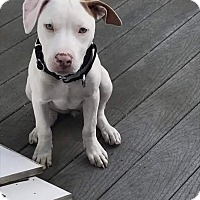 Adopt A Pet :: Puppies - female - Acushnet, MA